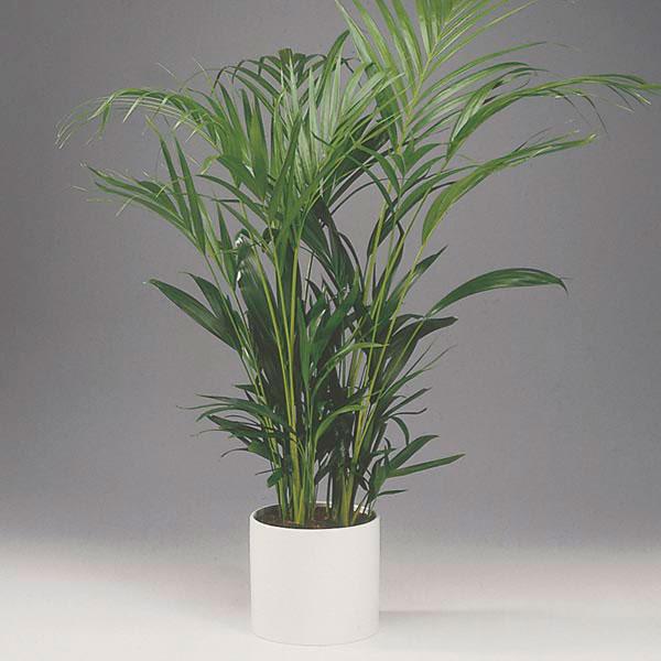 Areca Palms, plants in bedroom